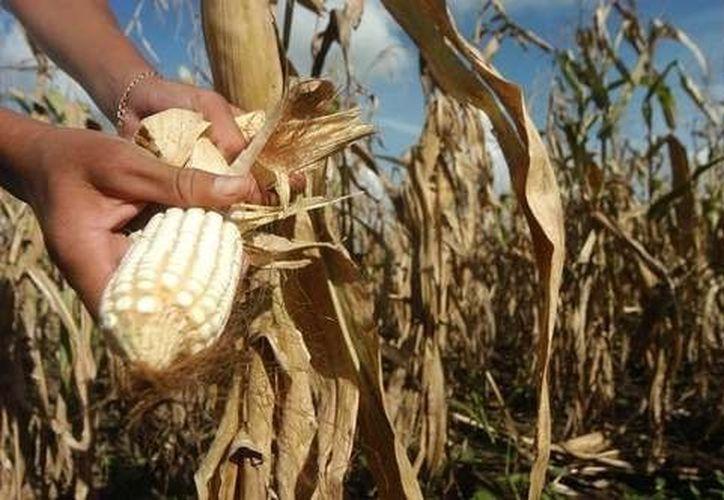 Exigen alto inmediato a las importaciones de maíz blanco. (Archivo Sipse)