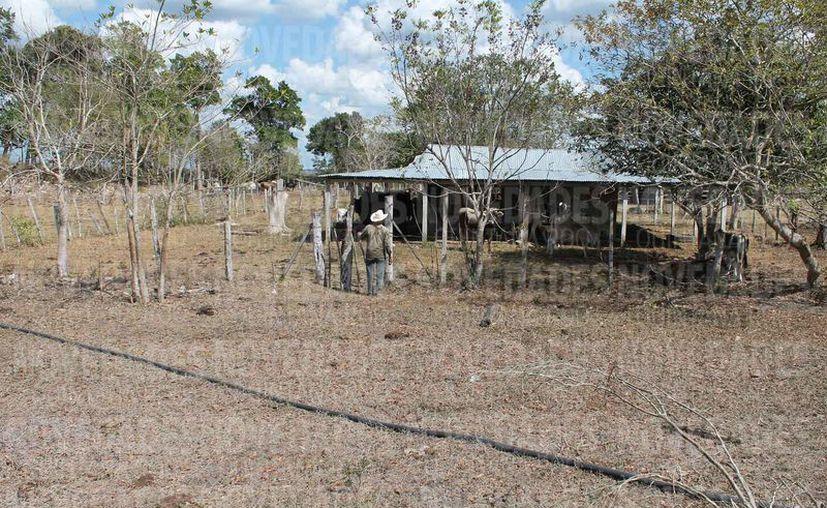 Continúa la producción con actividades ganaderas en el sur del estado. (Juan Rodríguez/SIPSE)