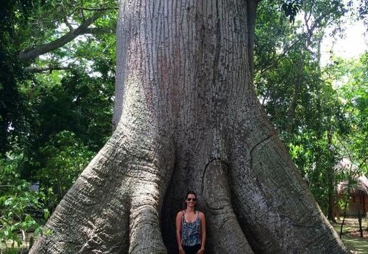 """El """"árbol milenario"""" se ha convertido en una atracción turística. (walkingmexico.com)"""