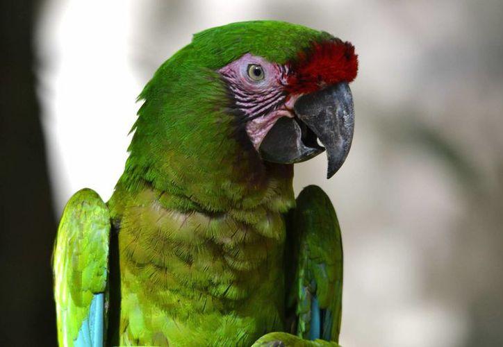 Cuando los habitantes de San Pedro Jocotipac decidieron proteger a la guacamaya verde, solo había 70 ejemplares del ave. (valoreschiapas.com)