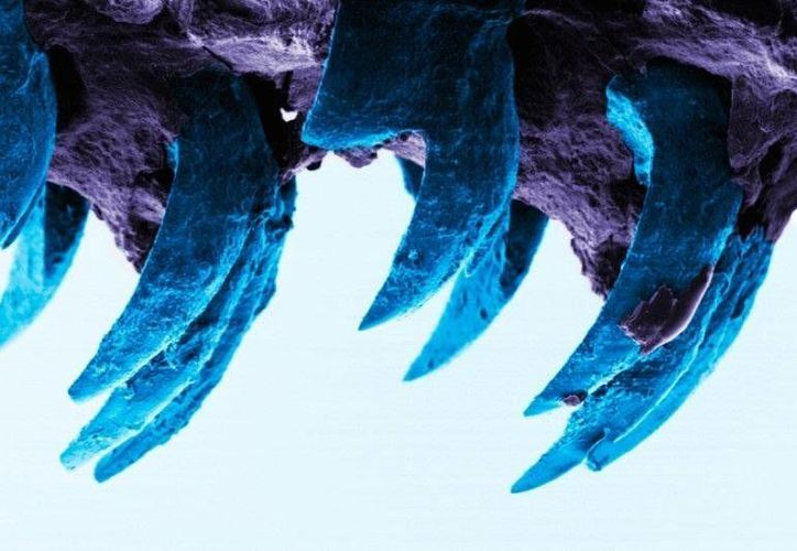 Los diminutos dientes de un milímetro de largo están compuestos del mineral de óxido de hierro color rojizo conocido como goetita. (Universidad de Portsmouth)