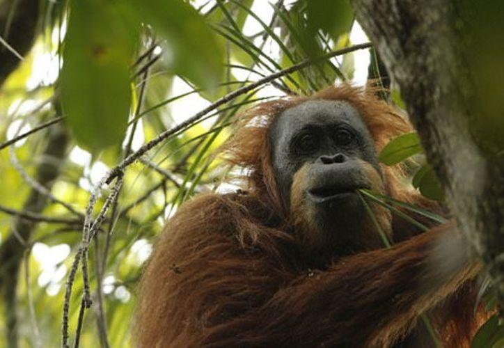Esta nueva especie de grandes simios habita en un área de 1,100 kilómetros cuadrados en el ecosistema de Batang Toru. (Fuente: RPP)