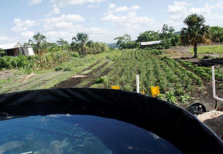 Emprendedores en la producción de tilapia tratan de evitar el desperdicio de agua. (Edgardo Rodríguez/SIPSE)