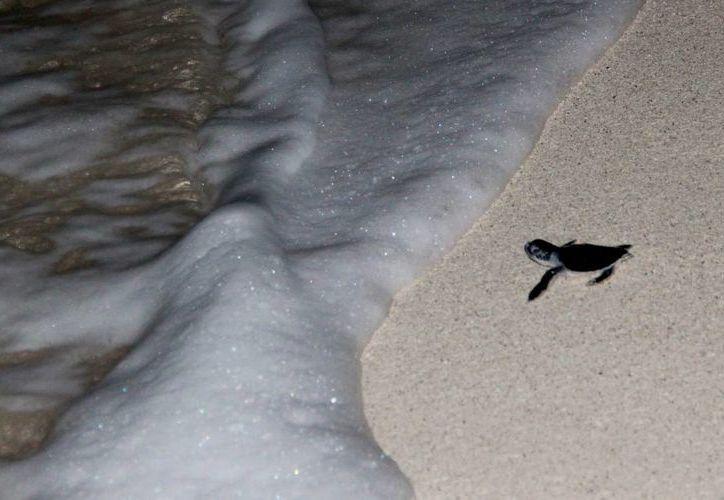 A diario llegan entre tres a cuatros quelonios a las costas de la zona hotelera de Cancún y Punta Brava, Puerto Morelos. (Jesús Tijerina/SIPSE)