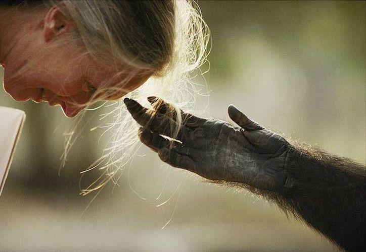 'Un chimpancé acerca su mano a Jane Goodall, República del Congo, 1990'. Esta foto pertenece a la exposición selecta de National Geographic que se presentará en Guanajuato. (ngenespanol.com)
