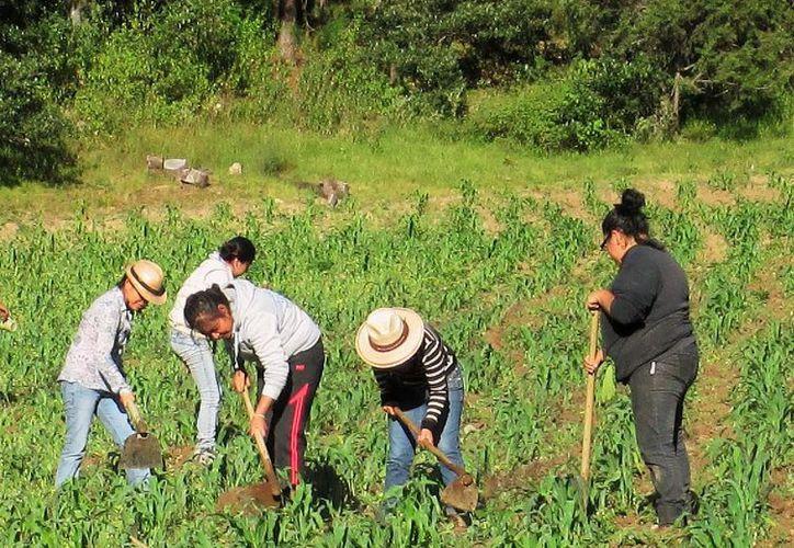 La problemática que viven en el campo bacalarense, a pesar de los anuncios de apoyos y recursos, sigue siendo crítica. (Carlos Castillo/SIPSE)