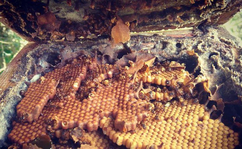 Consiste en adueñarse de la genética de las abejas meliponas y patentar su explotación. (Joel Zamora/SIPSE)