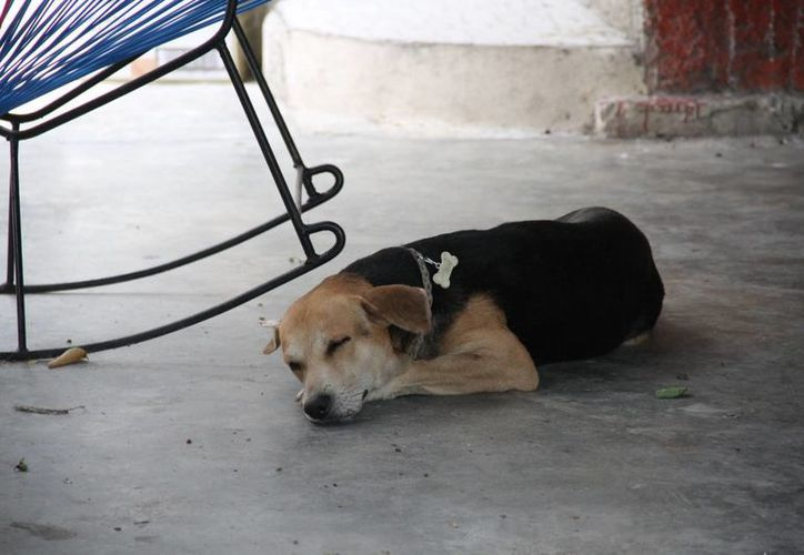 Los canes deben ser desparasitados al menor dos veces al año para evitar que padezcan de gusanos en el corazón. (Consuelo Javier/SIPSE)
