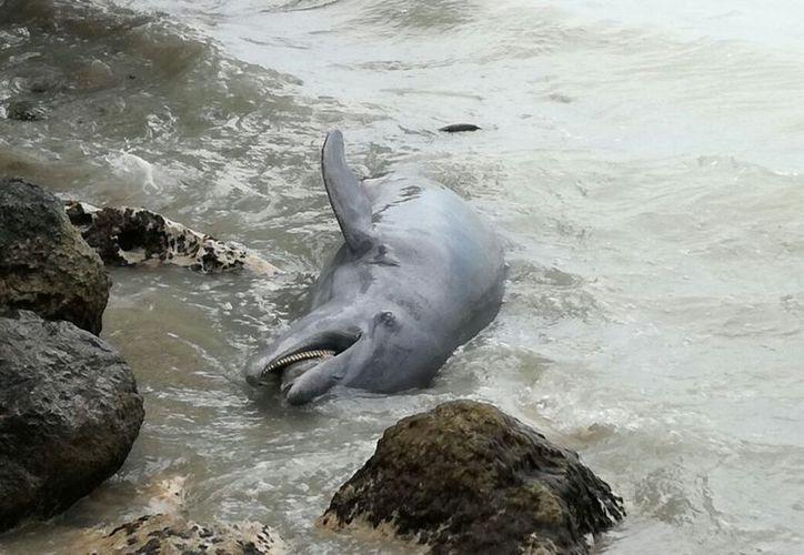La mañana de ayer recaló el cuerpo de un delfín en la Bahía de Chetumal. (Joel Zamora/SIPSE)