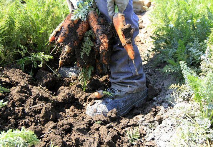 Campos de producción en Guanajuato; se busca incrementar al doble la siembra. México está exportando anualmente más de 50 mil toneladas a EU y Canadá, muy poco a Europa. (Notimex)