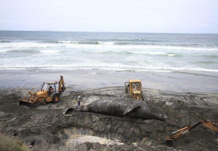 Profepa emitió una recomendación a 17 estado sobre el Protocolo de Atención para Varamiento de Mamíferos Marinos. Imagen de los trabajos realizados por elementos de la Profepa al enterrar el cadáver de una ballena gris que quedó varada en la costa. (Archivo/Notimex)