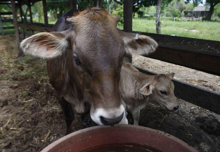 Los ganaderos no podrán adquirir más animales para crecer el hato ganadero. (Octavio Martínez/SIPSE)