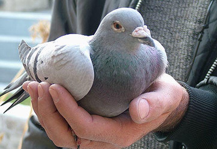 La paloma mensajera es una variedad de la paloma bravía que se entrena para que vuelva a su palomar. (Contexto/Internet).