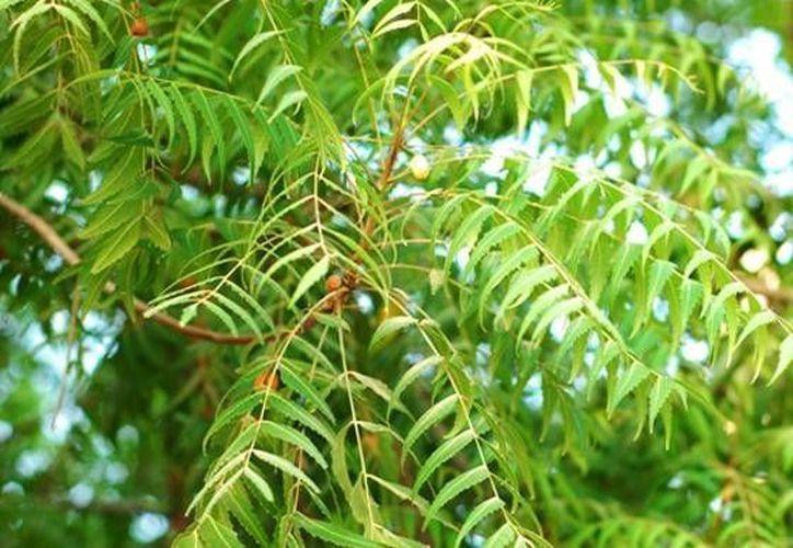 El neem es utilizado por pobladores de San Antonio Chun para prevenir plagas en sus hortalizas. (arbol-de-neem.com)