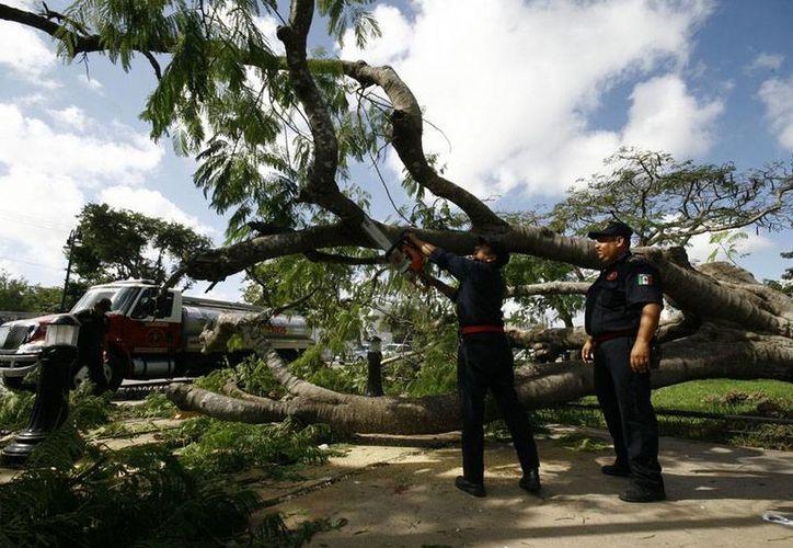 Los bomberos tuvieron que utilizaron sierras eléctricas para cortar el árbol que cayó en el Parque de la Paz, y que hirió a 3 personas de la tercera edad que 'tranquilamente' charlaban bajo la sombra de la planta. (SIPSE)