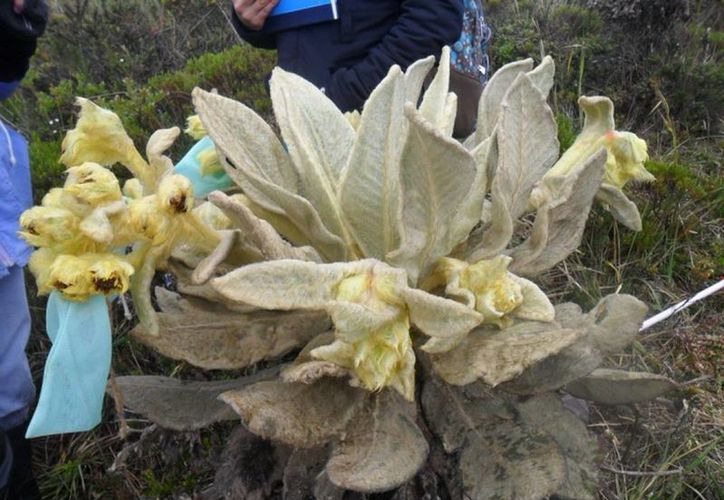La Espeletia paipana o frailejón gigante, en peligro de desaparecer en Colombia.(uptc.edu.co)