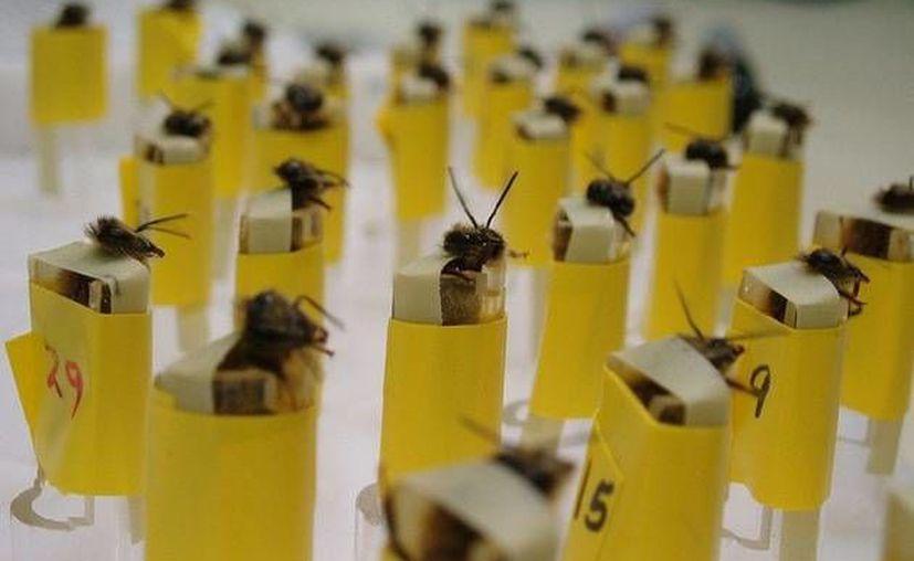 Las abejas son entrenadas para reconocer los aromas de los componentes de bombas. (lanl.gov)