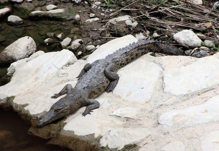 La costa chiapaneca es hábitat natural de varias especies de cocodrilo. (Archivo/Notimex)