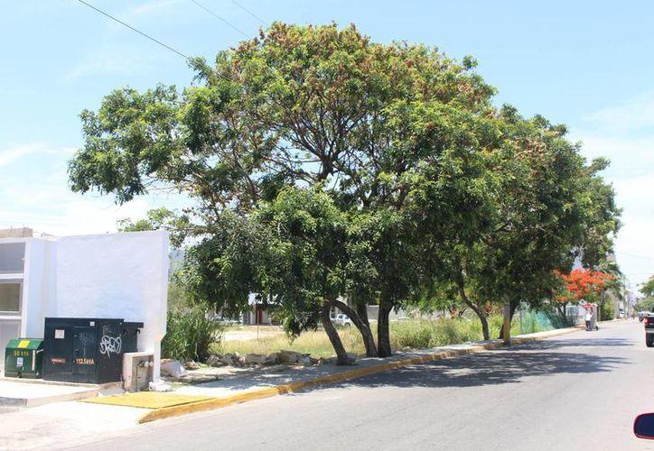 La Dirección de Medio Ambiente advirtió que se podrá castigar incluso con cárcel a quienes talen árboles sin permiso.  (Luis Ballesteros/SIPSE)