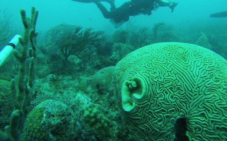 El arrecife del Caribe en México, junto con el de Belice, Guatemala y Honduras, integran el Sistema Arrecifal Mesoamericano. (Redacción/ SIPSE)