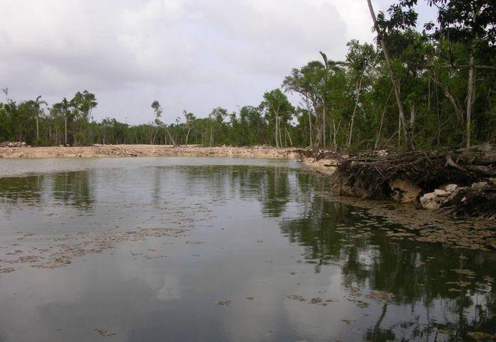 Profesionistas denuncian que en Tulum la zona de manglares es devastada, debido al poco interés de las autoridades en cuidar a esta especie.  (Rossy López/SIPSE)