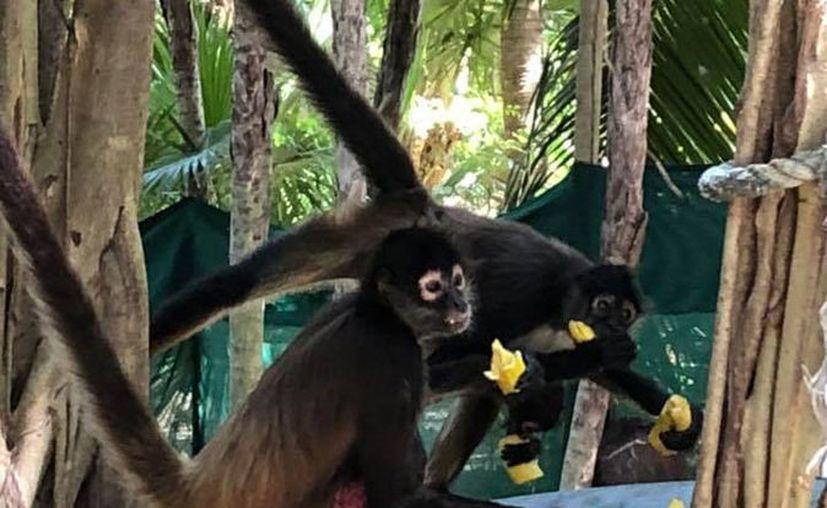 al ser una especie silvestre, no es permitido tocarlos. Estos mamíferos se curan las heridas. (Octavio Martínez/SIPSE)