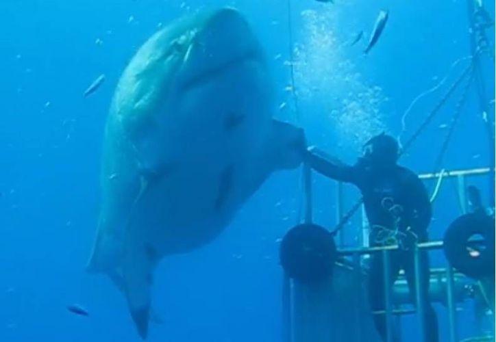 El video muestra como Deep Blue nada junto a la jaula, lo que permite apreciar su tamaño en comparación con el buzo. (facebook.com/amaukua)