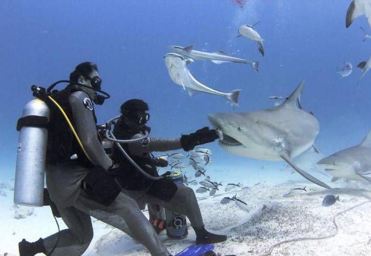 Los tiburones son cautelosos y se acercan poco a los buzos cuando trabajan cerca de ellos. (Contexto/SIPSE)