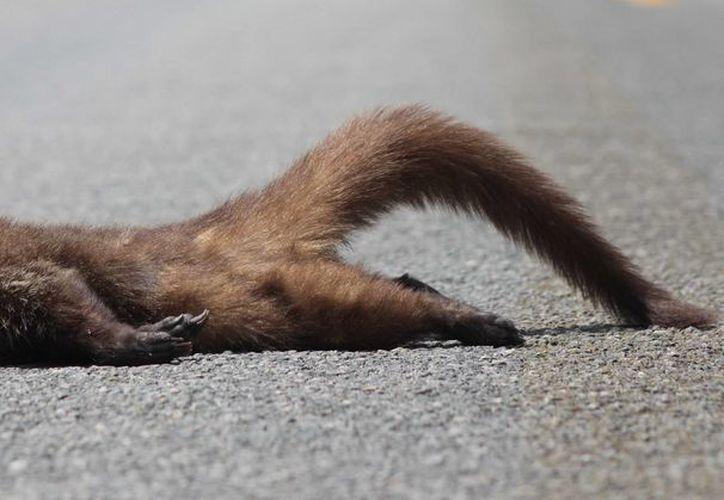 Animales endémicos, como el coatí, mueren al intentar cruzar la carretera. (Gustavo Villegas/SIPSE)