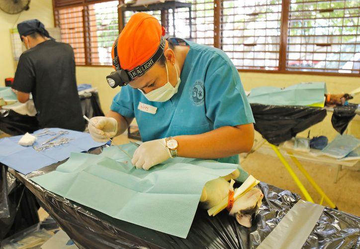 Activistas consideran que la esterilización es el único método para controlar la fauna callejera. (Jesús Tijerina/SIPSE)