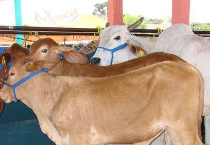 Ganaderos buscan mejorar la calidad de la carne e incrementar los volúmenes de leche. (Manuel Salazar/SIPSE)