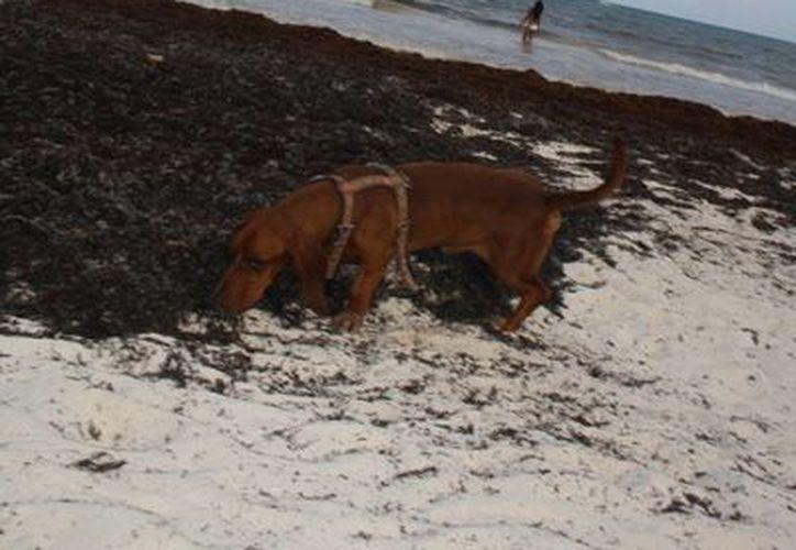 La salud humana también está en riesgo al no tener a los animales con las condiciones higiénicas adecuadas. (Sara Cauich/SIPSE)