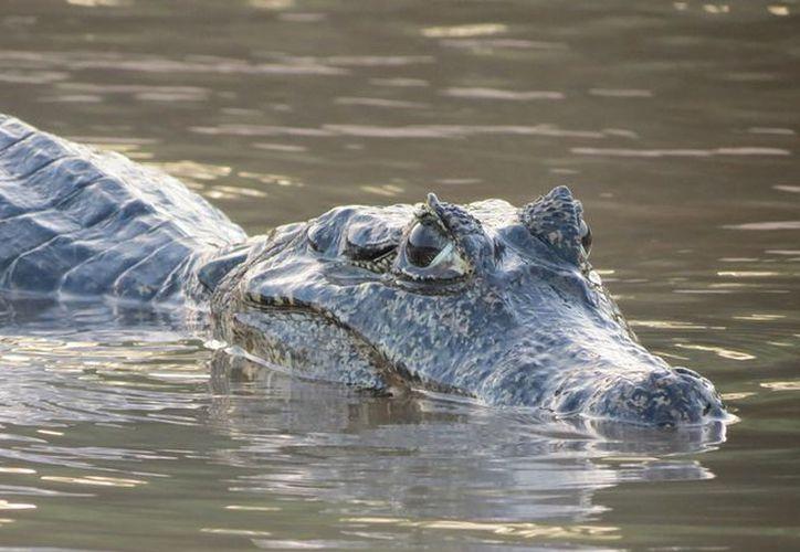 Los habitantes de las zona intentan cazar al cocodrilo para evitar más ataques. (Foto: Contexto/Internet)