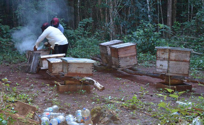 La producción de miel en la región ha sido mermada por las contingencias ambientales ocasionando pérdidas del 30%. (Joel Zamora/SIPSE)