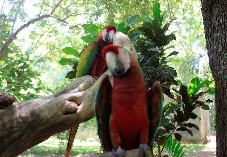 """Productores forestales preparan el primer proyecto de """"aviturismo"""" a nivel nacional que permitirá observar a 421 aves endémicas en su hábitat.  (Edgardo Rodríguez/SIPSE)"""