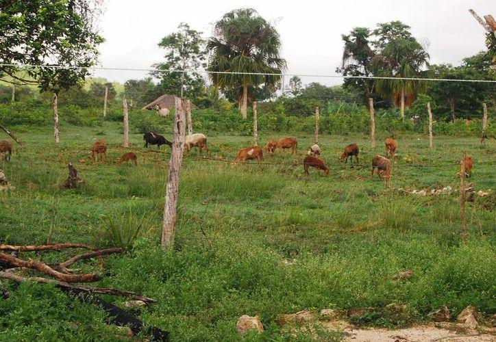 La población de borregos ha disminuido drásticamente en Quintana Roo. (Redacción/SIPSE)
