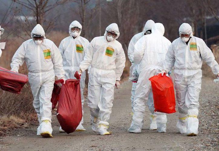 Imagen del 26 de diciembre de 2016 de trabajadores de Salud llevan sacos con pollos sacrificados en una granja, por sospechas de un caso de gripe aviar, en Incheon, Corea del Sur. La OMS pidió a países tomar acciones para evitar otra pandemia del virus. (Foto: Yun Tae-hyun/Yonhap vía AP)