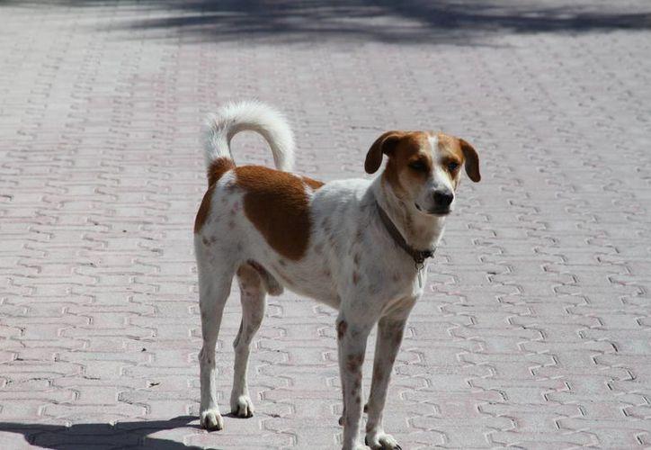 Es en los puntos de la calle 94 con Quinta Avenida donde comúnmente según las fuentes se ha observado la proliferación de los canes. (Octavio Martínez/SIPSE)