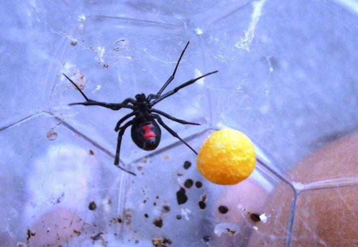 La mordedura de la viuda negra provoca cuadros de intoxicación muy severos en los humanos. (SIPSE)