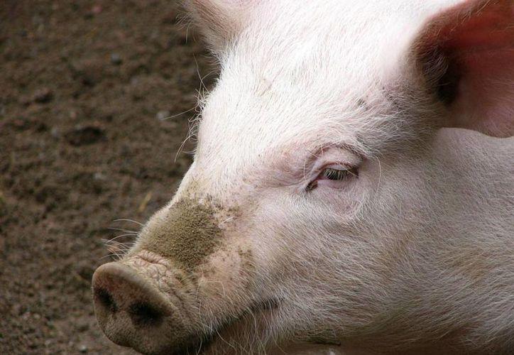 El perro atacó a dos cerdos, matando a uno e hiriendo al otro. (Imagen de contexto/clientesapc.com)