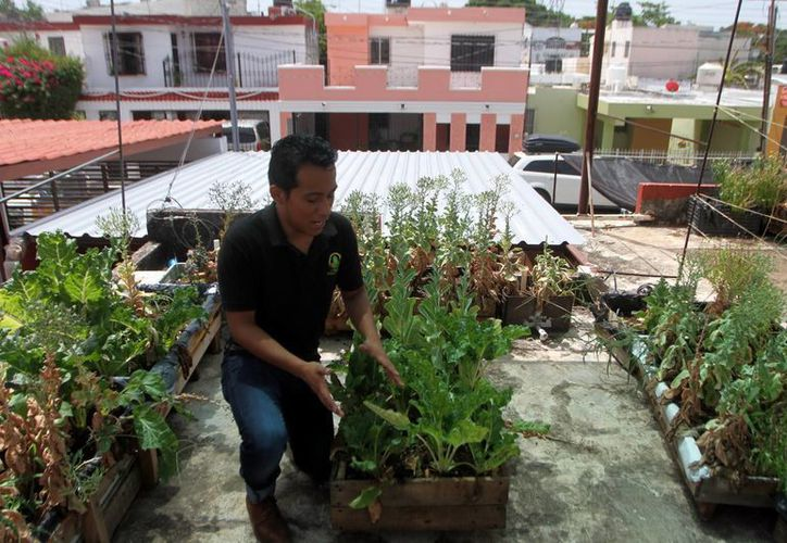 Fomentan un cultivo de manera orgánica, libre de químicos. (Amílcar Rodríguez/Milenio Novedades)