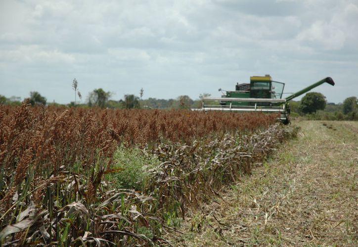 Cultivas una hectárea de sorgo representa gastos por más de cuatro mil peso. (Javier Ortiz/SIPSE)