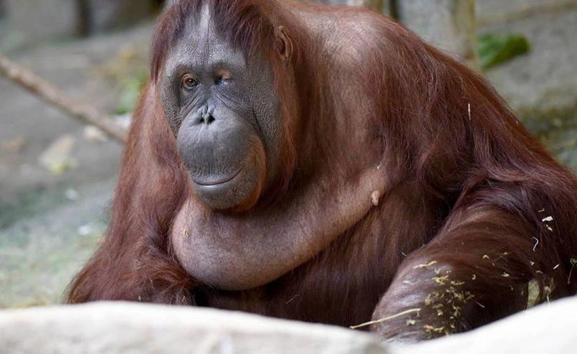 El único problema que han encontrado los biólogos es una tableta que resista la fuerza de los primates. (Agencias/Archivo)