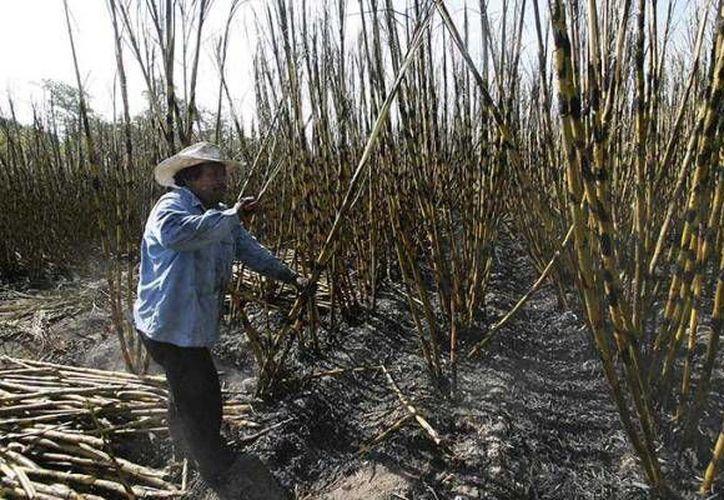 Los campesinos llevan siglos cultivando caña de azúcar, pero el problema de esta misteriosa forma de nefropatía surgió hace aproximadamente una o dos décadas. (e-consulta.com)
