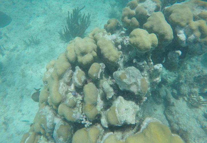 Actualmente los corales se encuentran dañados. (Israel Leal/SIPSE)