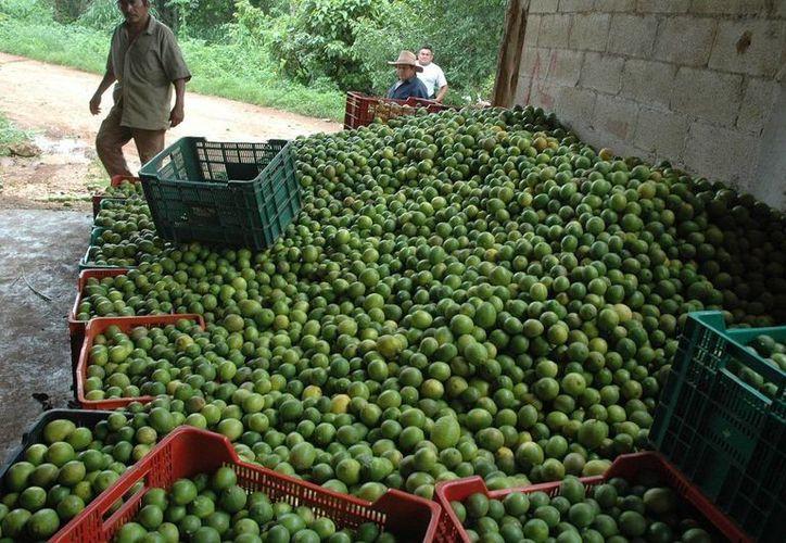 Entre los productores causó gran preocupación. (Juan Rodríguez/ SIPSE)