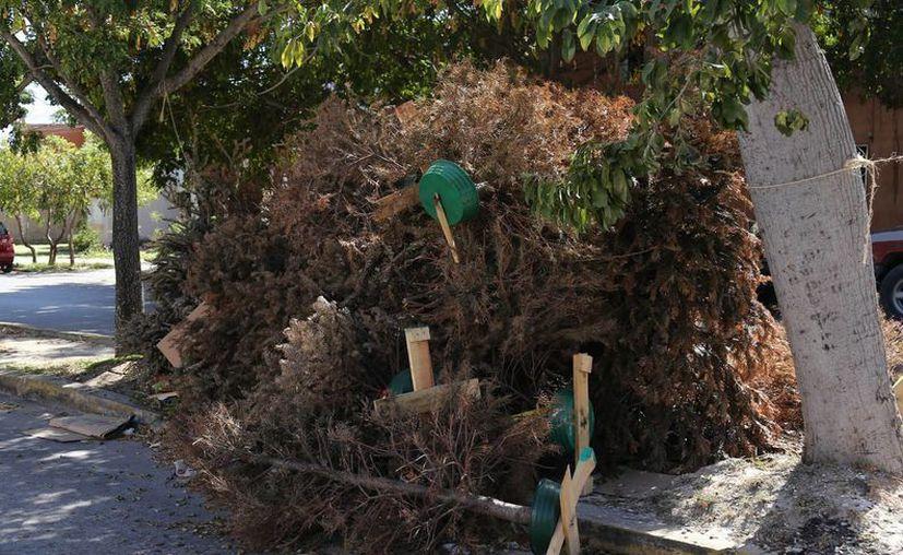 El año pasado fueron más de siete mil árboles los que se recolectaron. (Redacción/SIPSE)