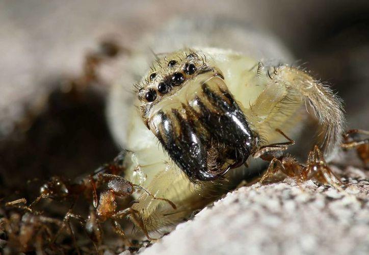 Un grupo de hormigas trasladan a una araña a su hormiguero. (EFE/Archivo)