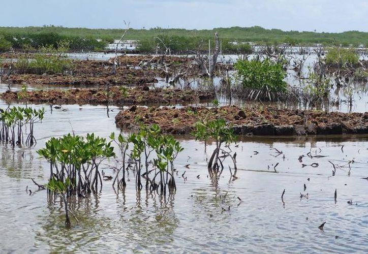 Un estudio dio a conocer que Quintana Roo perdió en 34 años ocho mil hectáreas de manglar. (Foto: Contexto/Internet)