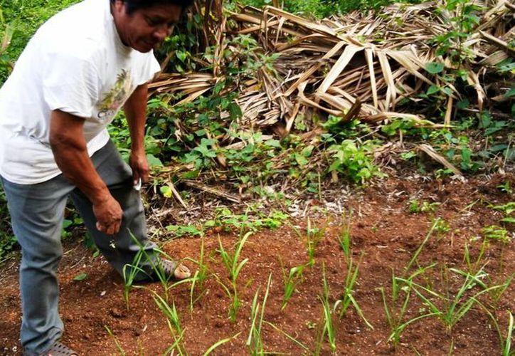La lombricultura sirve para cultivar  frijol, maíz, sorgo, trigo, soya, entre otros. (Javier Ortíz/SIPSE)